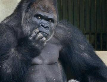 c71ad5330e93e3c4963819565a6364b4--gorilla-gorilla-silverback-gorilla